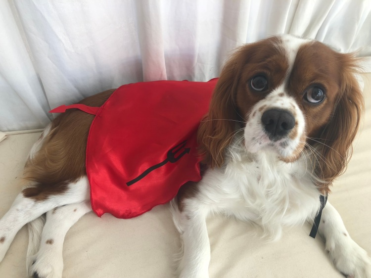 cavalier king charles dog spaniel in devil costume