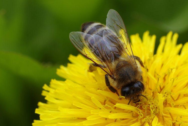 animal-beautiful-bee-414221.jpg