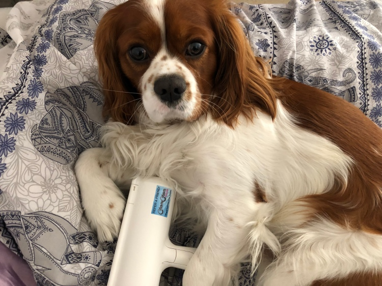 cavalier king charles spaniel with chom chom roller