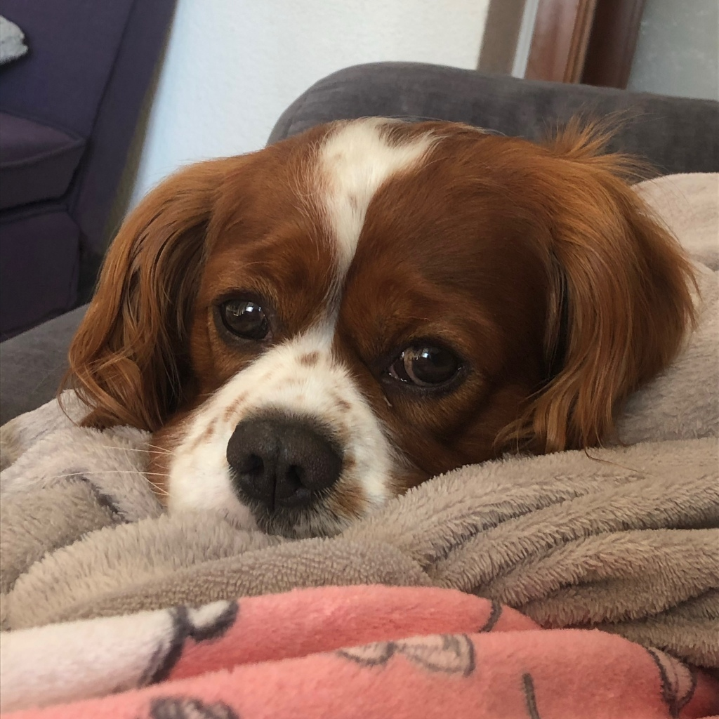 Cute King Charles cavalier dog puppy