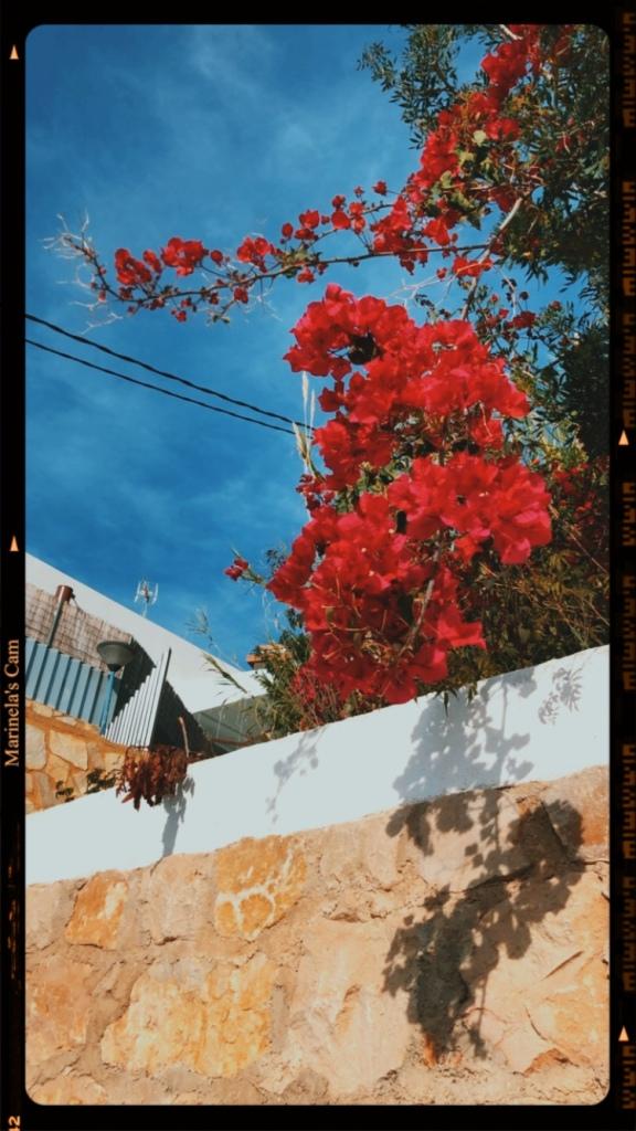 Vintage image bougainvillea  flowers
