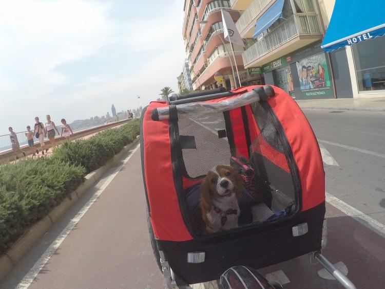 cavalier puppy inside pet carrier poniente beach tao bike