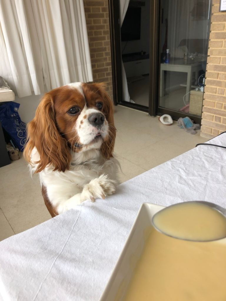 Cavalier King Charles laughing at my soup lunch