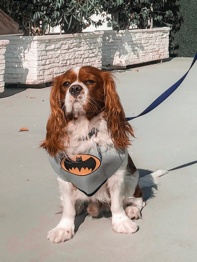 dog dressed as batman for halloween